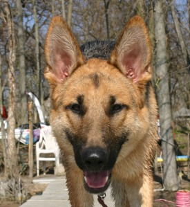 The Public Domain German Shepherd